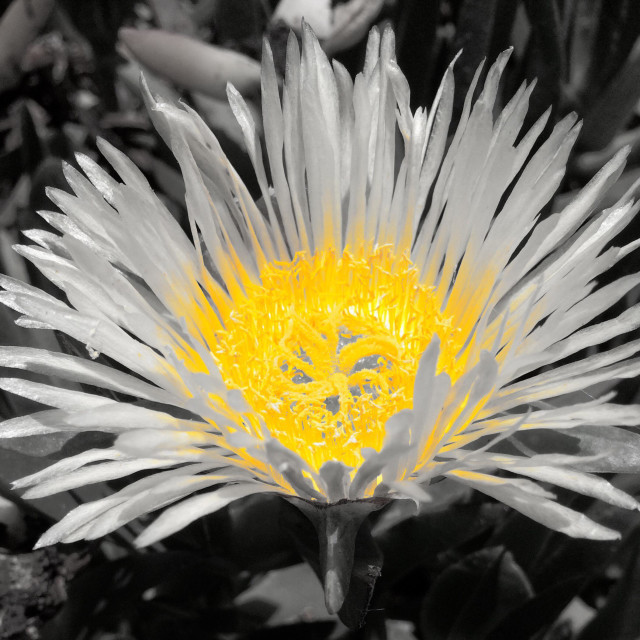 """""""Daisy using color pop"""" stock image"""