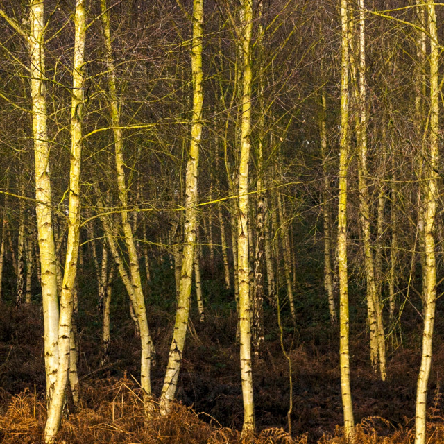 """Sherwood Forest Birches"" stock image"