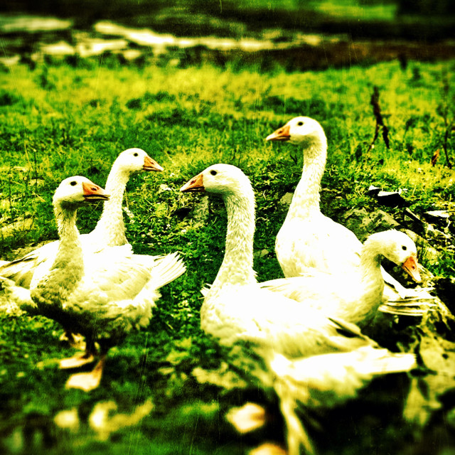 """Gaggle of Geese"" stock image"