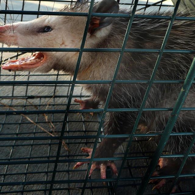 """""""Possum"""" stock image"""
