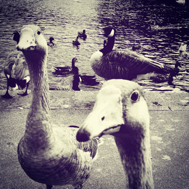 """Feeding the ducks and geese"" stock image"