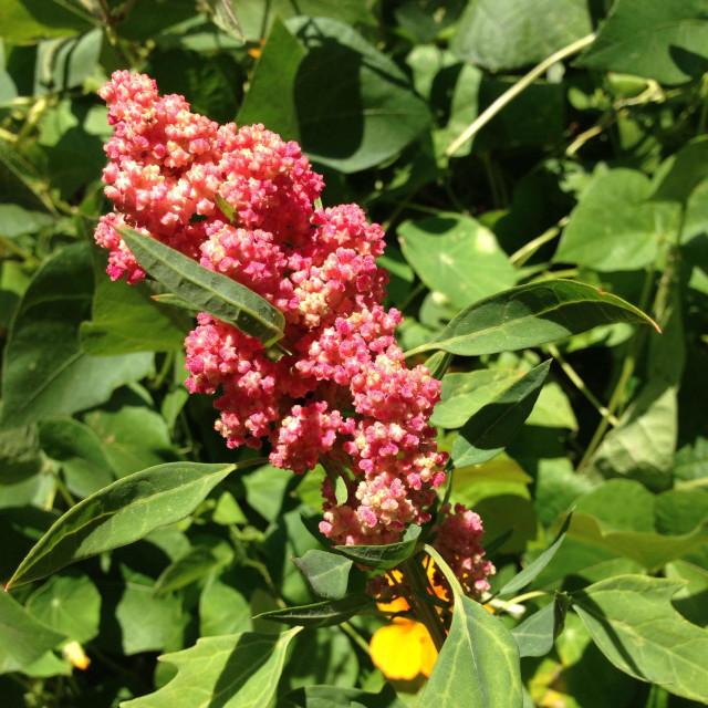 """Quinoa growing"" stock image"