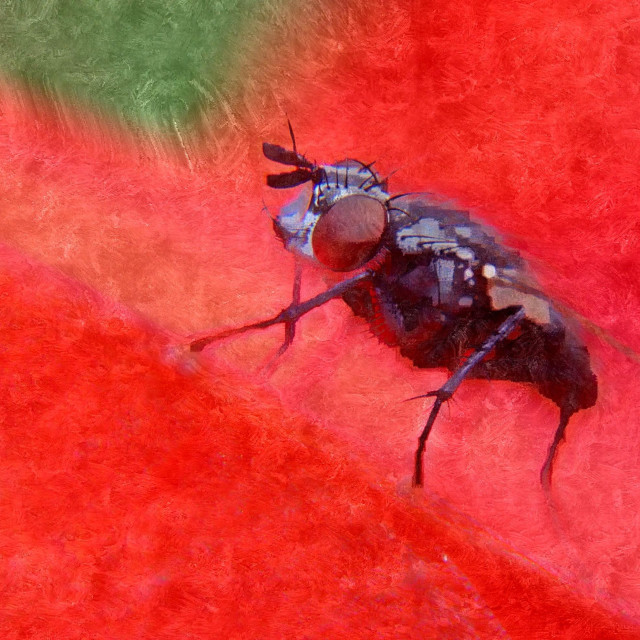 """""""Close up of a flesh fly"""" stock image"""