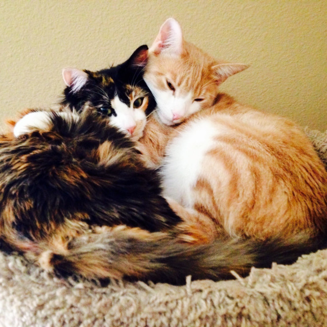 """""""Two cats cuddling with one another."""" stock image"""