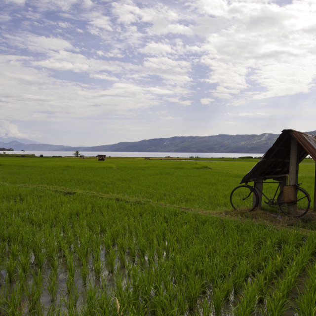 """Paddy fields near Lake Singkarak West Sumatera,Insonesia."" stock image"