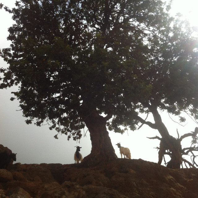 """The tree and the goats, Lugro, Crete, Greece"" stock image"