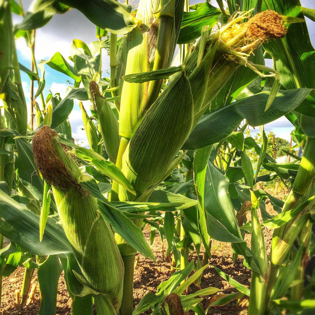 """""""Sweetcorn ready for harvest"""" stock image"""