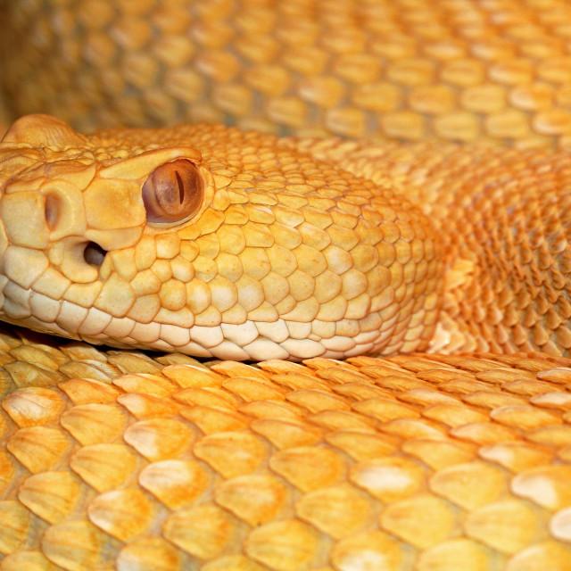 """Western Diamondback Rattlesnake Closeup"" stock image"