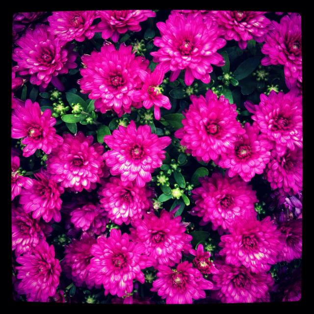 """""""Purple chrysanthemums in bloom"""" stock image"""