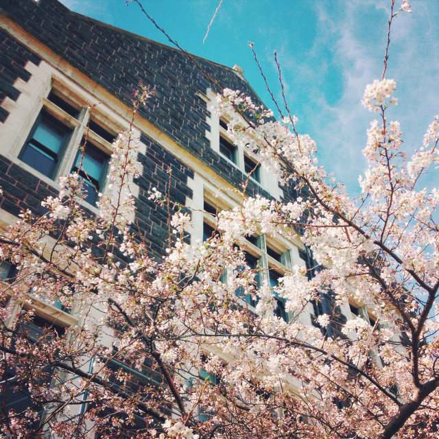 """A cherry blossom tree on the Otago University campus, New Zealand"" stock image"