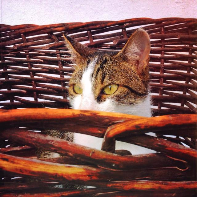 """""""Cat looking out from a wicker basket"""" stock image"""