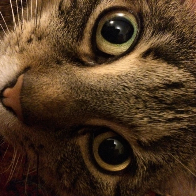 """""""Tabby cat Boo wide eyed and pink nose"""" stock image"""