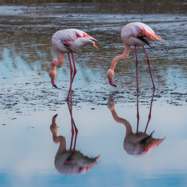 """flamingo's 2"" stock image"