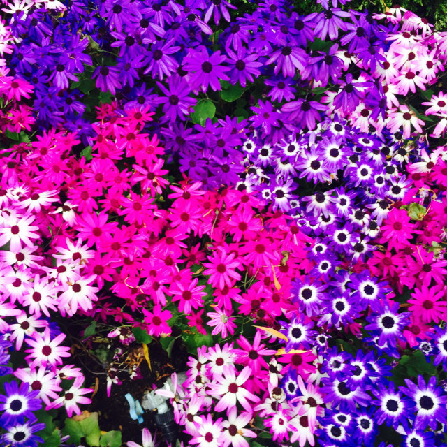 """""""Violet daisies"""" stock image"""