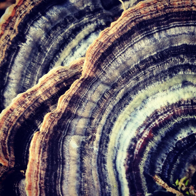 """Bracket fungus patterns"" stock image"