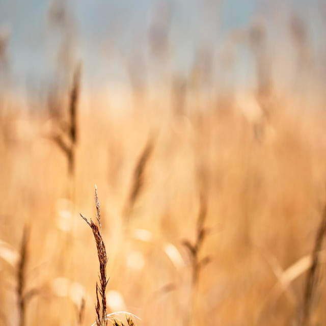 """""""Reed with selective focus on dull and grey autumn day"""" stock image"""