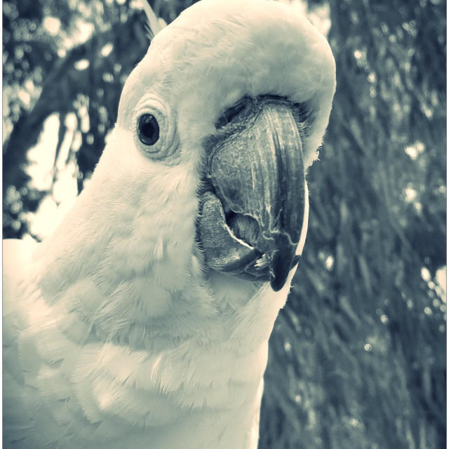 """Cockatoo"" stock image"