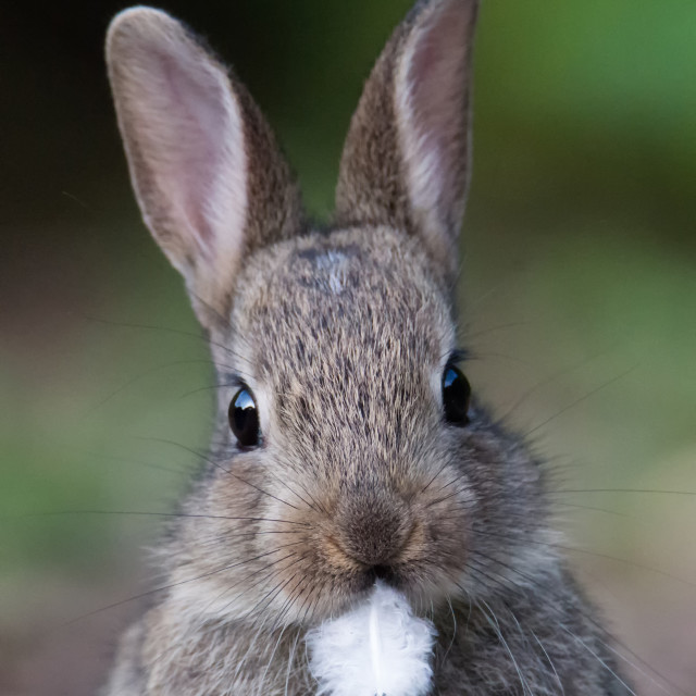 """Rabbit Portrait"" stock image"