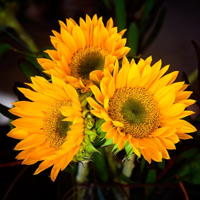 """sunflower arrangment"" stock image"