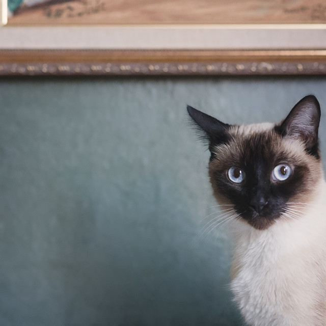 """Sparkles the Siamese Cat"" stock image"