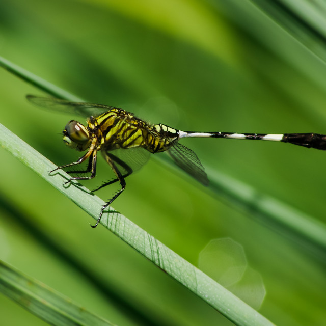 """""""Dragonfly with green nature background"""" stock image"""