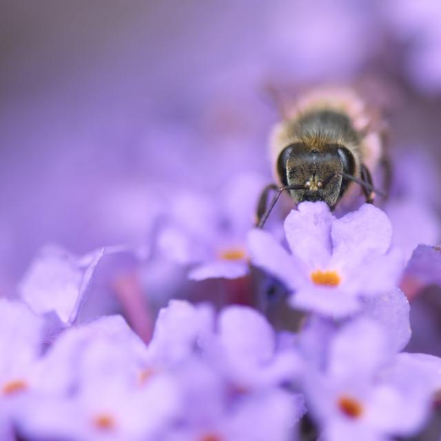 """Honey Bee on Buddleia Flower"" stock image"