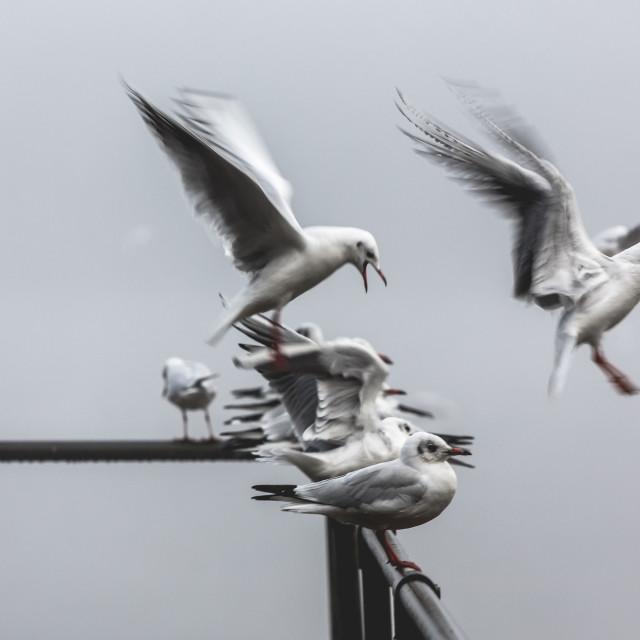 """Noisy seagulls on the railing at the misty lake"" stock image"