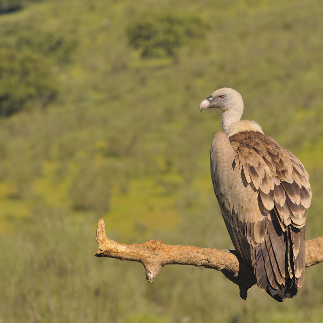 """""""Griffon vulture in the meadow of Extremadura."""" stock image"""
