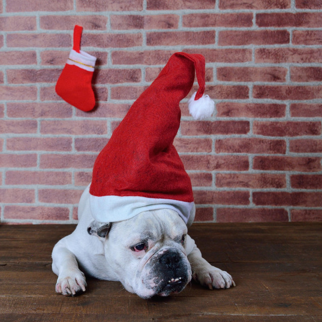 """Portrait of french bulldog with Christmas hat."" stock image"