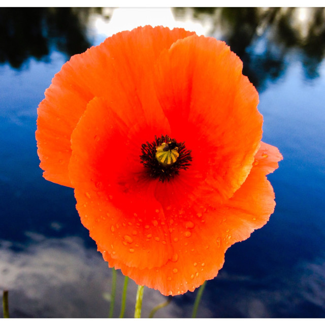"""""""Common red poppy by water"""" stock image"""