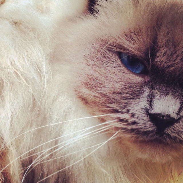 """""""Close up of rag doll cat"""" stock image"""