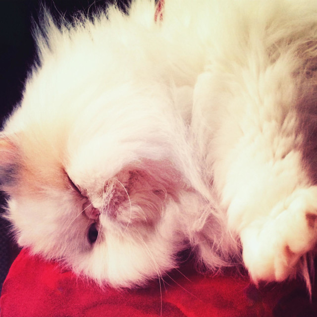 """""""Fluffy Persian cat lying down on the side"""" stock image"""