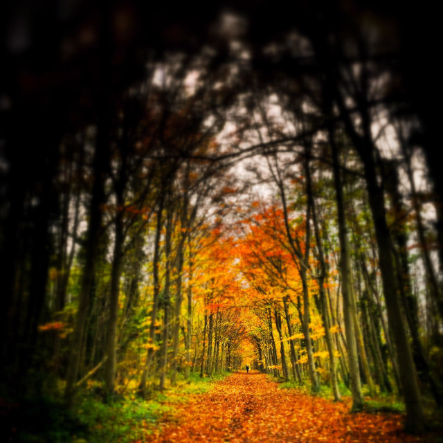 """Autumn colours footpath under arched trees, Wandlebury Country Park, Cambridge, England"" stock image"