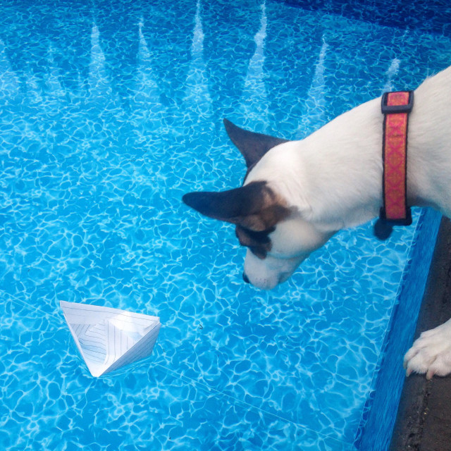 """Daisy and the boat pt1. Daisy the Jack Russell Terrier is quite intrigued by the paper boat floating in the pool."" stock image"