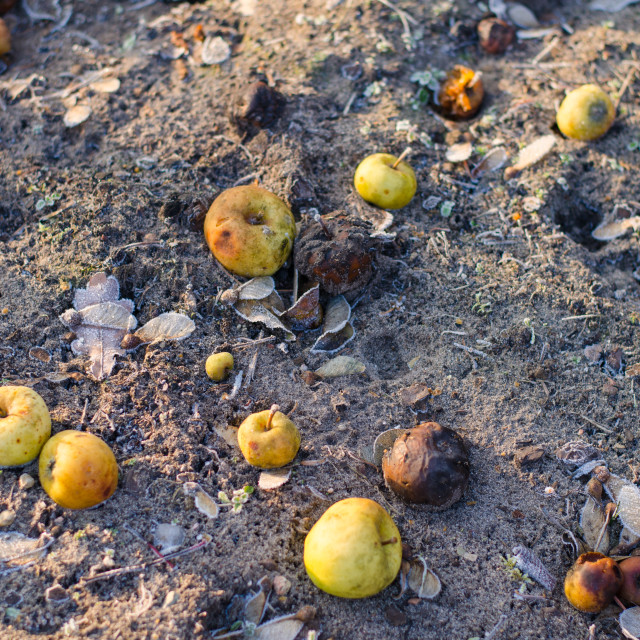 """""""Frosty Apples On The Ground"""" stock image"""