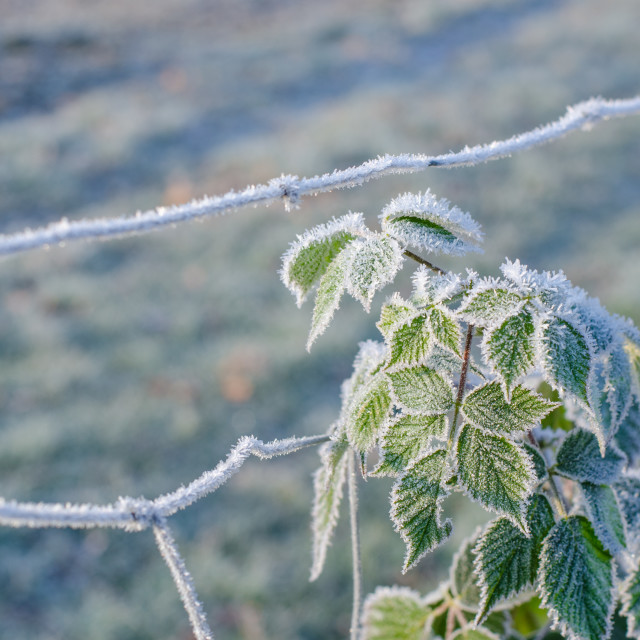 """Frozen Plant In Winter"" stock image"