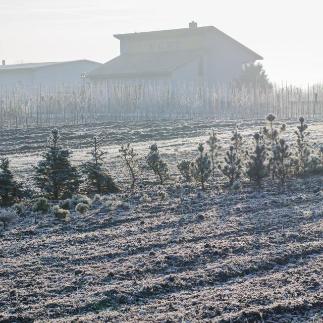 """Growing Pines In Winter"" stock image"