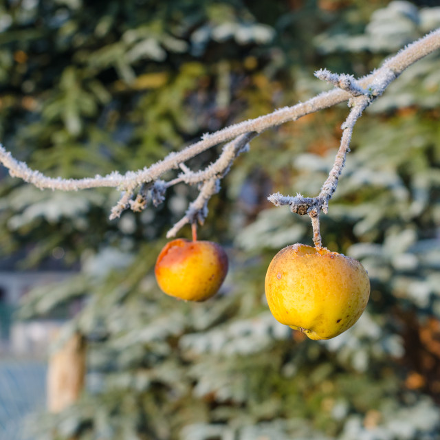 """""""Apples On Frozen Branch"""" stock image"""