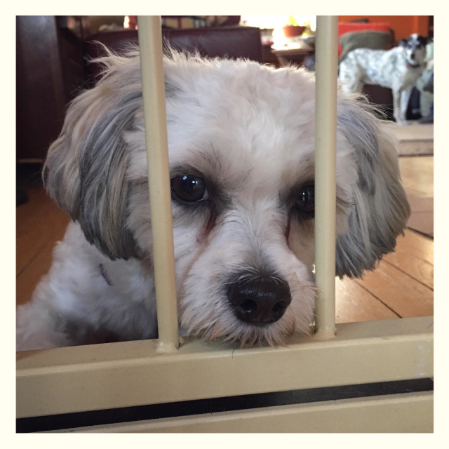 """Dog behind bars looking sad and imprisoned, USA, November 23, 2014, © Katharine Andriotis"" stock image"
