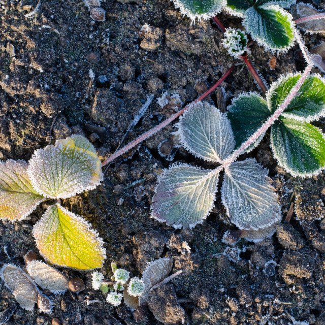 """""""Frozen Leaves On The Ground III"""" stock image"""