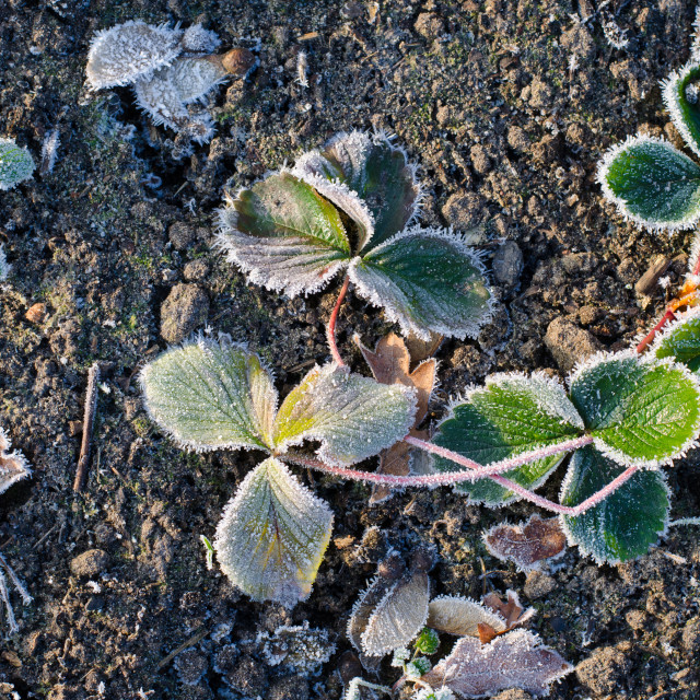 """""""Frozen Leaves On The Ground II"""" stock image"""