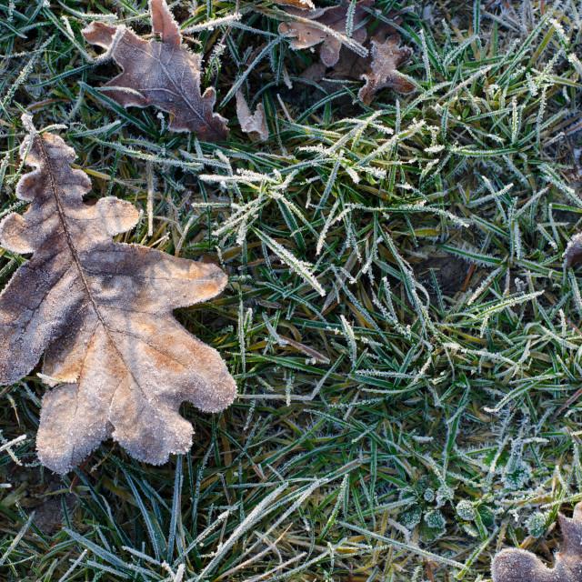 """Frozen Leaf On The Ground V"" stock image"