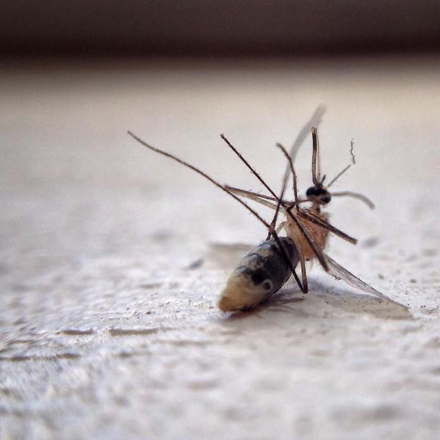 """Mosquito"" stock image"