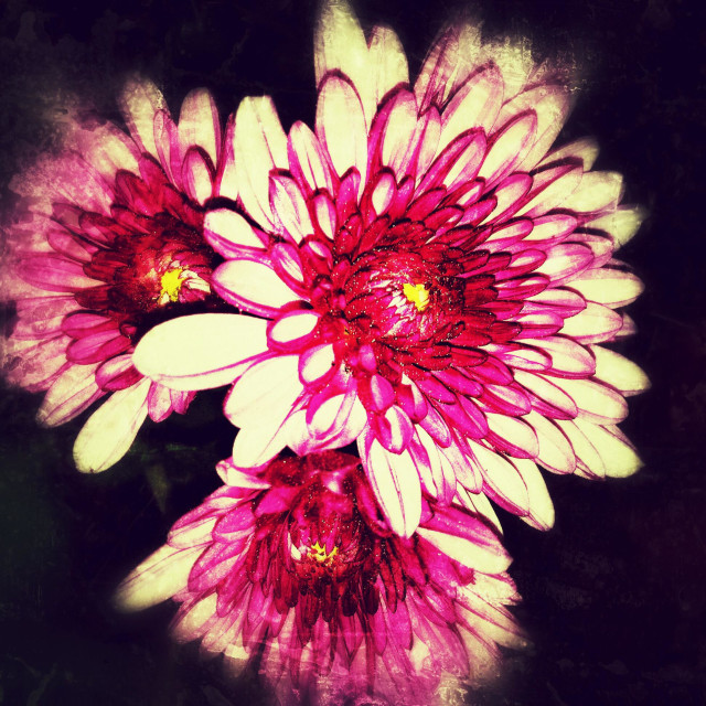 """""""Picture of Zinnia flowers with iPhone 4"""" stock image"""