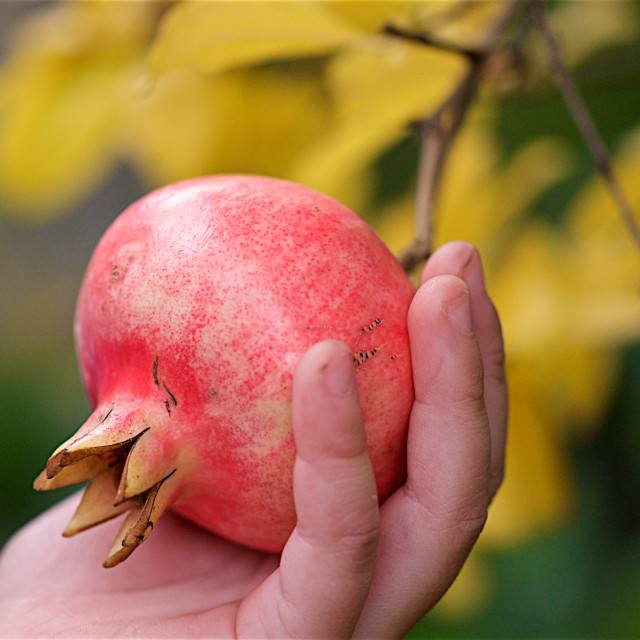 """Picking the pomegranate"" stock image"