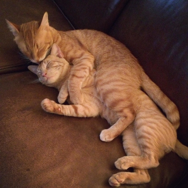"""""""Two cats cuddling and grooming"""" stock image"""