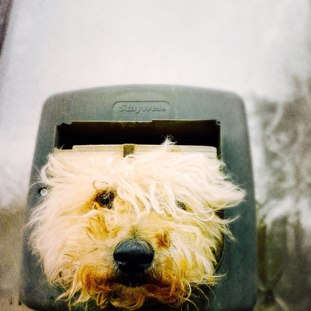 """""""Barking mad - dog in a cat flap"""" stock image"""