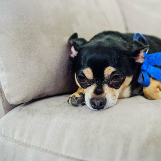 """Depressed dog wearing a Christmas blue bow"" stock image"