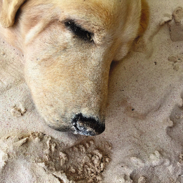 """""""Old beach dog asleep in the sand."""" stock image"""