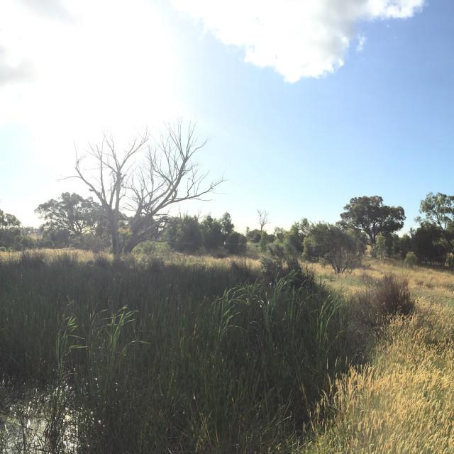 """Wheat fields, VIC, Australia"" stock image"